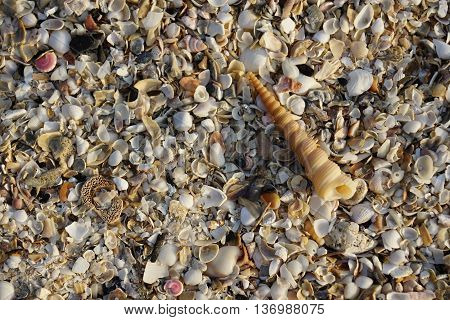 Auger spiral seashell with seashells background Thailand.