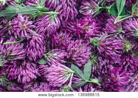 clover flowers located collected for medical purposes russia