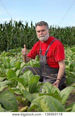 Farmer Or Agronomist Inspect Tobacco Field