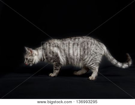 Cat model in studio in dark background smelling and searching food. British Shorthair female Cat searching food in studio. Fat cat