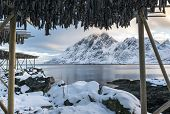 Stockfish (cod) drying during winter time on Lofoten Islands Norway. poster