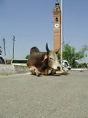 uncastrated bull sitting in the middle of a road near the landmark ghantaghar or clocktower of lucknow india poster