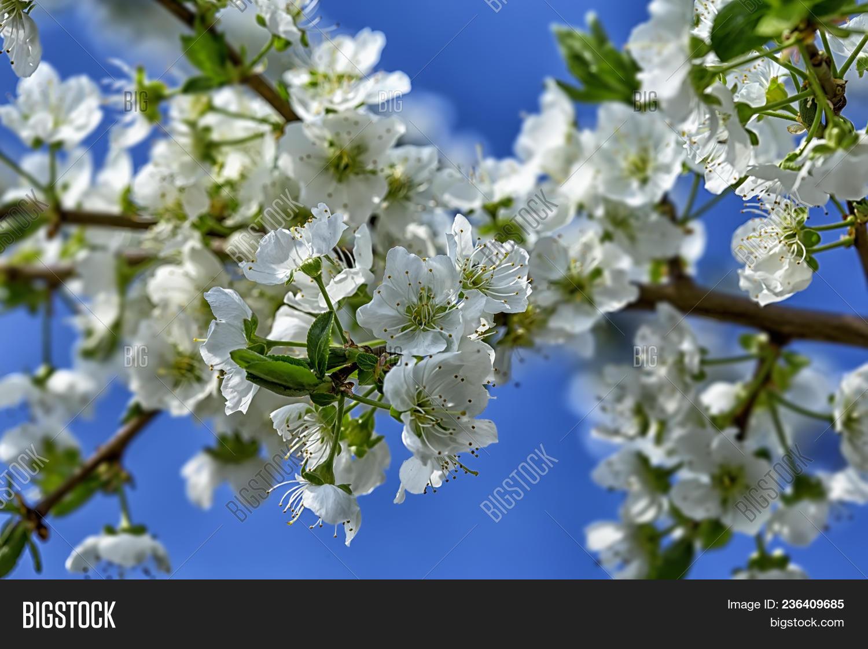 Spring flowering tree image photo free trial bigstock spring flowering tree against the blue sky fruit flowering trees delicate flowers blossoming tree izmirmasajfo