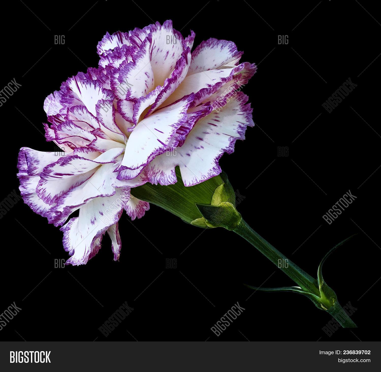 Violet White Carnation Image Photo Free Trial Bigstock
