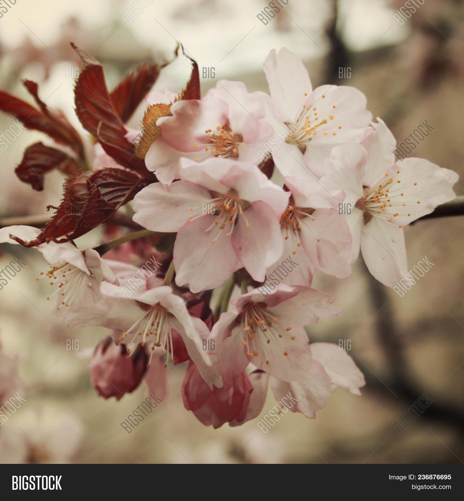 Cherry Flowers Bloom Image Photo Free Trial Bigstock