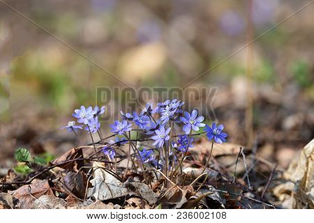 Hepatica Noble (hepatica Nobilis), Or Coppice - The First Spring Flowers In The Forest, Europe
