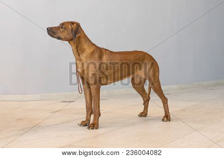 Rhodesian Ridgeback South African Dog Breed Refers To Related Breeds Of Hound Dogs, Short Brown Wool