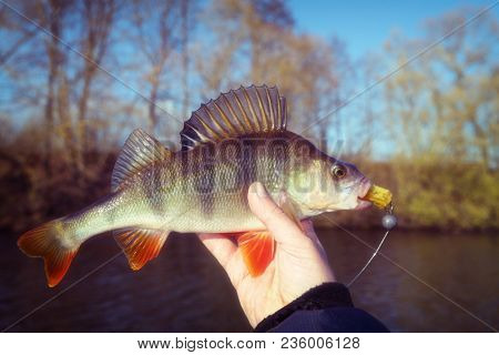 Perch in fisherman's hand, autumn time, toned image, grain added
