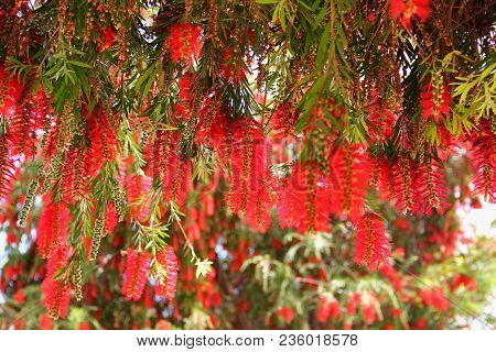 Evergreen Tree, Shrub Callistemon, Cylindrical Inflorescences Bright Red, A Lot Of Hanging Flowers,