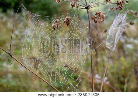 Golden Cobweb With Glistening Morning Dew On Grassland.