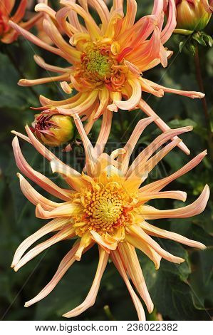 Rse-colored Dahlia Flowers In The Botany Garden