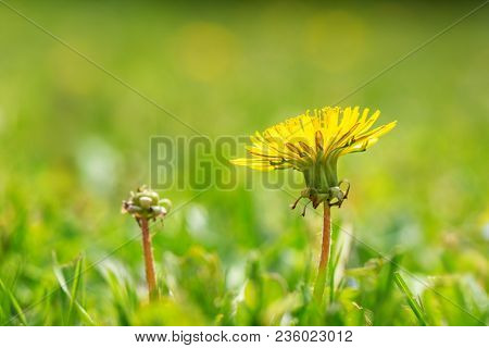 Springtime Flower. Macro Shot Of A Dandelion With Green Background.