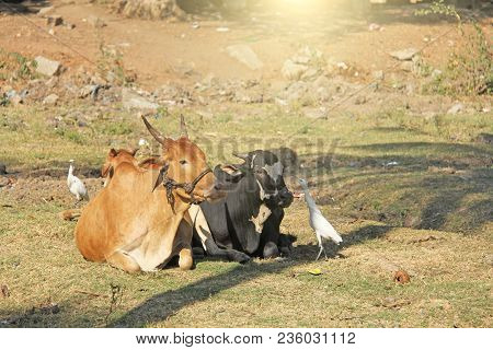 White Heron And Cows In India. The Heron Catches Insects In The Cow's Eye