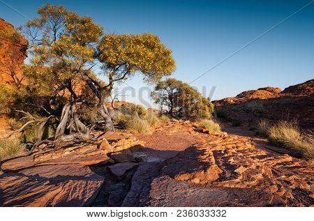 Kings Canyon, Northern Territory, Australia - Native Pine Trees In Flower Amongst The Red Rocks Of T
