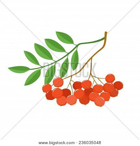 Branch Of Ashberries Isolated On White. Color Mountain Ashes. Bright Berries Branch.