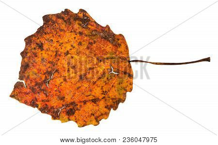 Broken Autumn Fallen Leaf Of Aspen Tree Isolated On White Background
