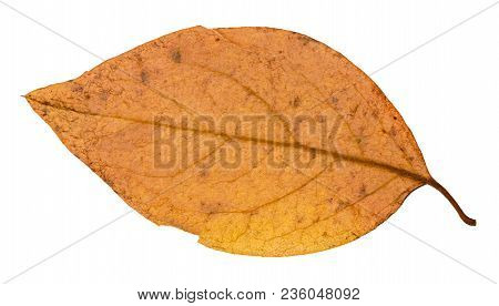 Back Side Of Yellow Autumn Leaf Of Poplar Tree Isolated On White Background