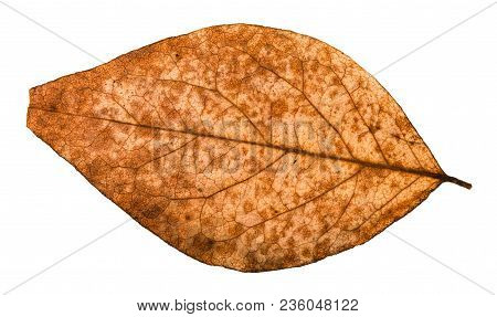 Back Side Of Broken Dried Leaf Of Poplar Tree Isolated On White Background
