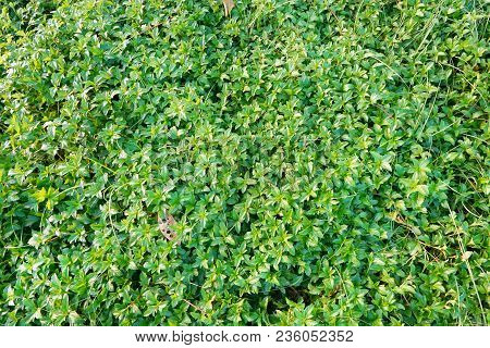 Green Background Of The Ground Cover Plants. Leaves Texture. Top View. Natural Green Concept, Grass