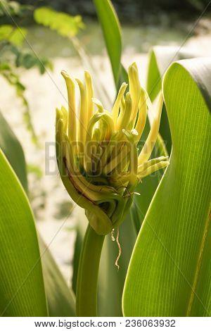 Close Up Crinum Asiaticum Flower In Nature Garden