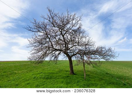 White Blossoming Cherry Tree On A Hill