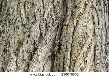 Close-up Of The Detailed Tree Bark Of An Old Caucasian Wingnut Tree In Spring. View To The Tree Bark