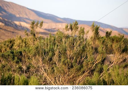 Creosote Plant Which Is A Common Drought Tolerant Shrub On Arid Landscapes Taken In The Mojave Deser