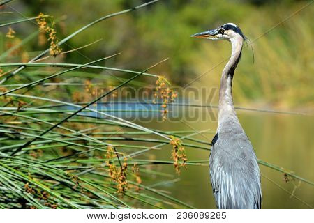 Back View Of A Great Blue Heron (ardea Herodias) Standing In The Middle Of A Marsh. The Bird Is Stan