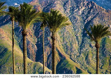 Palm Trees With Rural And Rugged Mt San Jacinto Beyond Taken Near Palm Springs, Ca