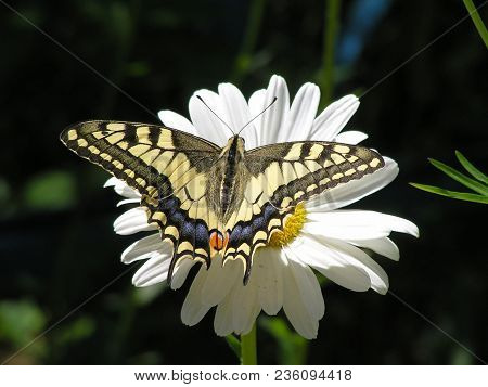 Butterfly Swallowtail  (papilio Machaon On Latin) On A Large White Daisy Flower