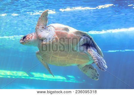 Green Sea Turtle In Blue Sea Background. Chelonia Mydas Species Living In Tropical And Subtropical S