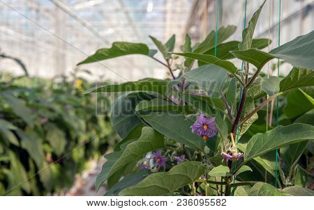 Closeup Of A Purple And Yellow Colored Eggplant Blossoms Growing On A Plant Climbing Along Green Wir
