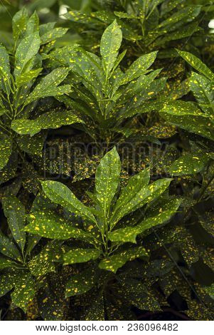 floral background - green in gold speckls leaves of Gold Dust Croton (Codiaeum variegatum, garden croton or variegated croton) poster