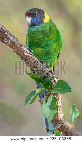 An Australian Ringneck Of The Western Race, Known As The Twenty-eight Parrot, Photographed In A Fore