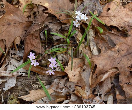 Dainty Pink And White Flowers Of Spring Beauty Plants With Thin Green Leaves Emerging On A Forest Fl