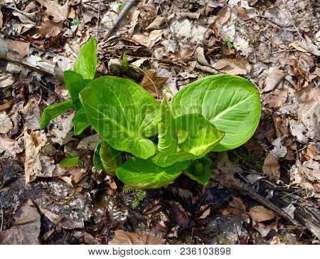 Bright Green Leaves Of A Skunk Cabbage Plant Emerging In A Spring Wetland.