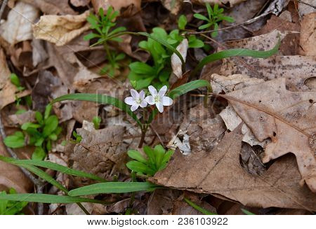 A Pair Of Dainty White Spring Beauty Flowers Emerging From A Forest Floor.
