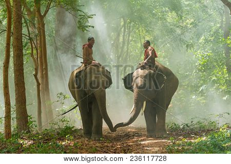 Surin, Thailand - June 25, 2016: Mahouts Riding Elephants Walking On Walkway In Morning In Forest In