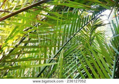 Palm Leaves As A Background. Nature Wallpaper Concept.(nypa,atap Palm,nipa Palm, Mangrove Palm), Abs