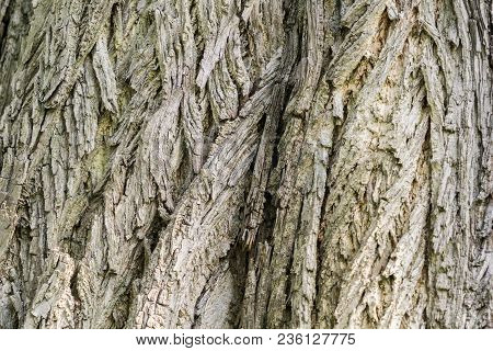 Tree Bark Of An Old Caucasian Wingnut (pterocarya Fraxinifolia) Tree In Spring. Close-up Of An Old C