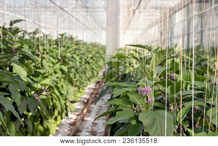 Purple And Yellow Blossoming Eggplant Plants In The Large Greenhouse Of A Dutch Nursery Specialized