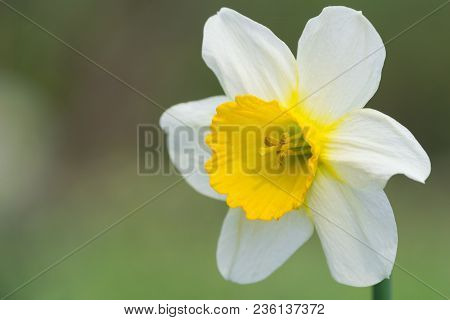 A Beautiful White Daffodil Flower In The Light Of The Spring Sun. View To A White Daffodil (narcissu
