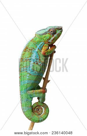 Alive Chameleon Reptile Sitting On Branch. Studio Shot Isolated On White Background. Copy Space.