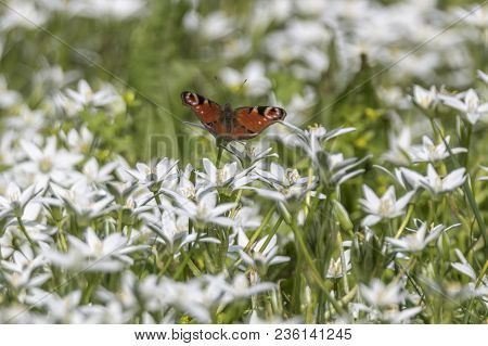A Butterfly Inachys Io Flying On Flower