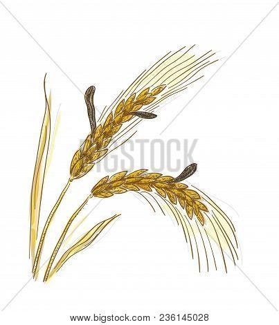 Claviceps Purpurea, Ergot Or Ergot Fung. Vector Illustration.