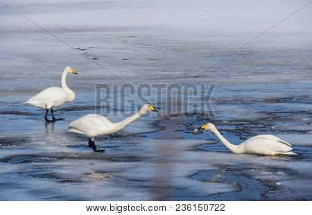 Love Of Swans In Spring In The North Of Sweden