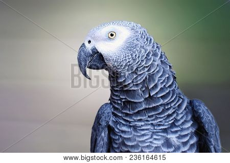 The Grey Parrot Psittacus Erithacus, Also Known As The Congo Grey Parrot Or African Grey Parrot, Is