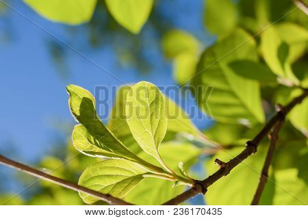 Close-up Sunlit Young Spring Green Leaves On Branch On Blue Sky Background.