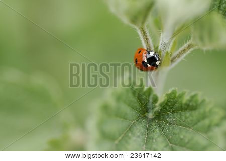 Macro image of one ladybird climbing a nettle. Short DOF focus on Beatle. poster