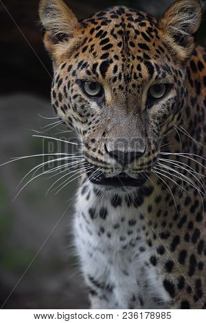 Face To Face Close Up Portrait Of Persian Leopard (panthera Pardus Saxicolor) Looking At Camera, Low